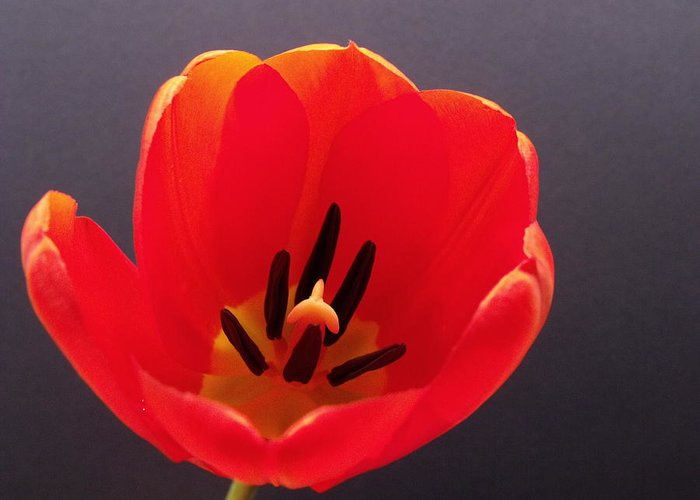 Red Greeting Card featuring the photograph Red Tulip 4 by Anna Villarreal Garbis