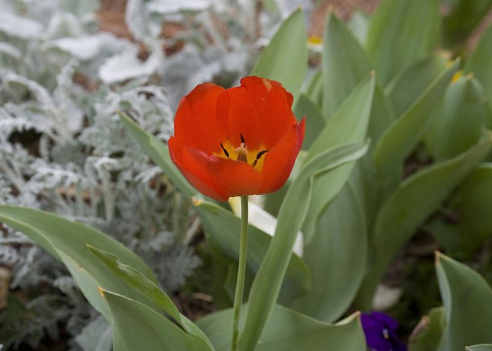 Red Tulip Greeting Card featuring the photograph Red Tulip by Magda Levin-Gutierrez