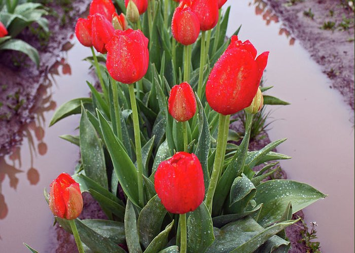 Tulips Greeting Card featuring the photograph Red Tulip Row by Kami McKeon
