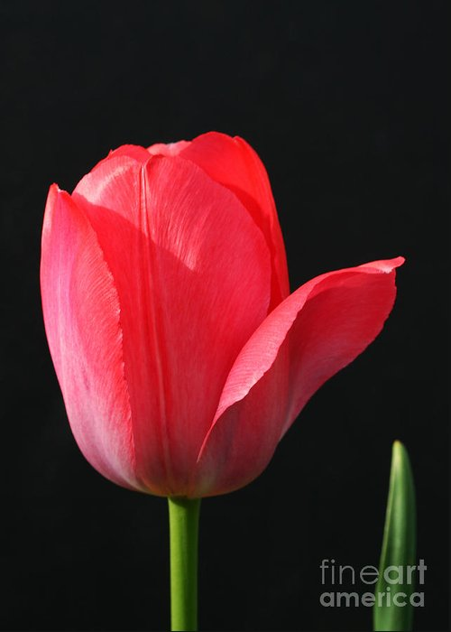 Tulip Greeting Card featuring the photograph Red Tulip by Steve Augustin