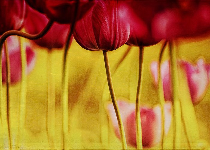 Tulips Greeting Card featuring the photograph Red Tulips by Iris Greenwell