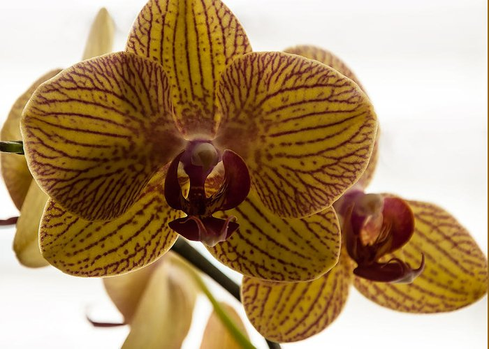 Orchid Greeting Card featuring the photograph Red Veined Orchid by Kirt Tisdale