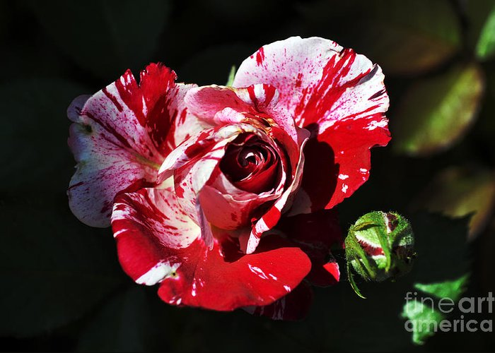 Clay Greeting Card featuring the photograph Red Verigated Rose by Clayton Bruster