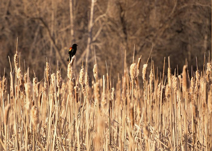 Bird Greeting Card featuring the photograph Red Winged Blackbird On Cattails by Cary Leppert