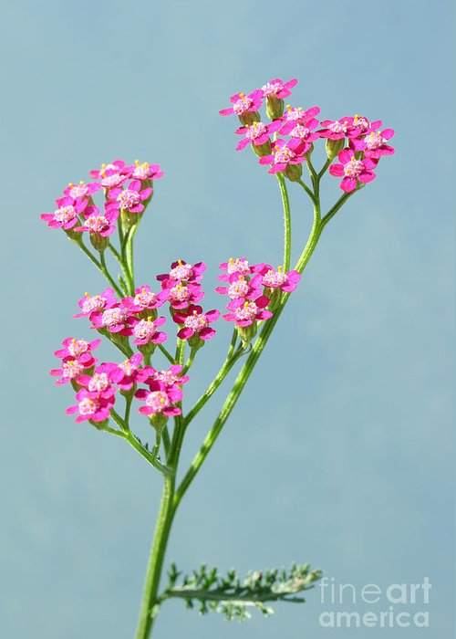 Flowers Greeting Card featuring the photograph Red Yarrow by Steve Augustin