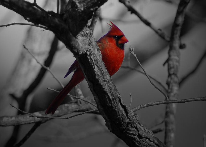 Cardinal Greeting Card featuring the photograph Redbird by Shawn Wood