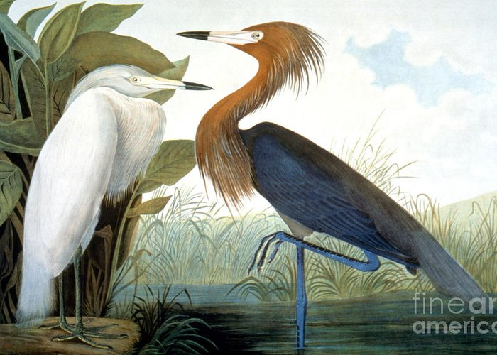 1858 Greeting Card featuring the photograph Reddish Egret, by Granger