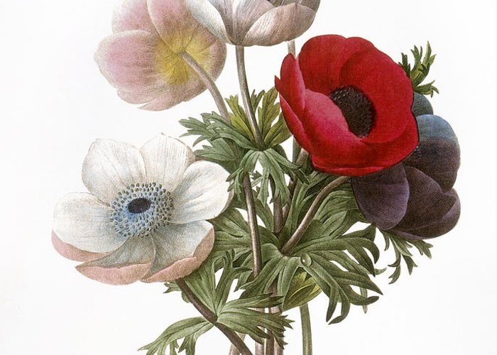 1833 Greeting Card featuring the photograph Redoute: Anemone, 1833 by Granger