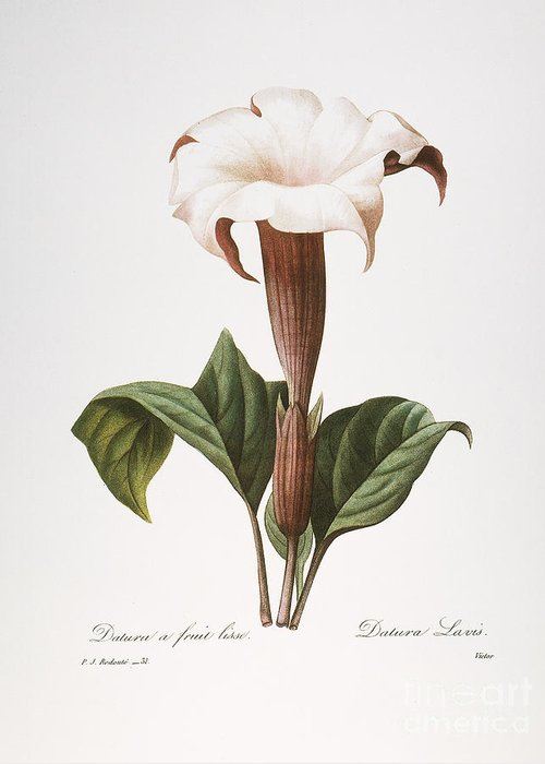 1833 Greeting Card featuring the photograph Redoute: Datura, 1833 by Granger