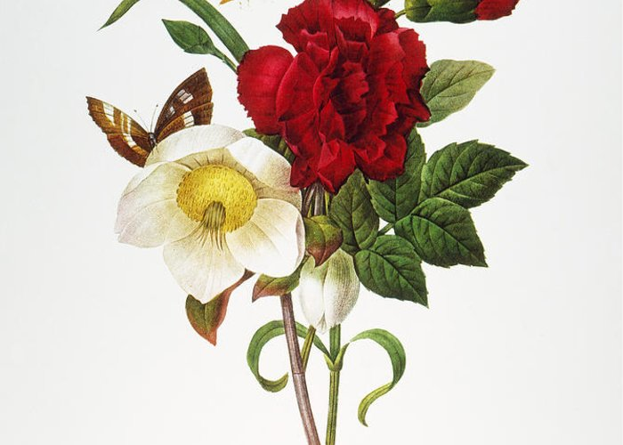 1833 Greeting Card featuring the photograph Redoute: Hellebore, 1833 by Granger