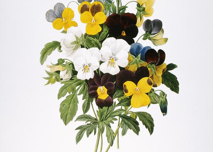 1833 Greeting Card featuring the photograph Redoute: Pansy, 1833 by Granger