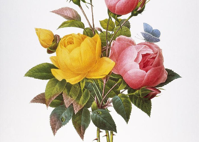 1833 Greeting Card featuring the photograph Redoute: Roses, 1833 by Granger