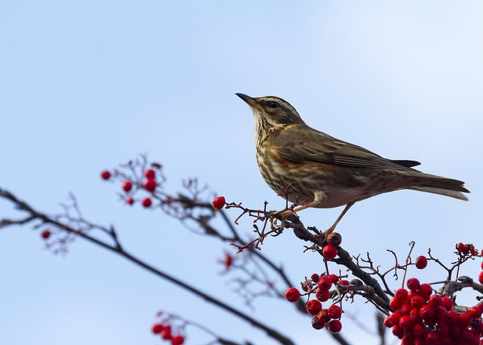 Redwing Greeting Card featuring the photograph Redwing - 2 by Chris Smith
