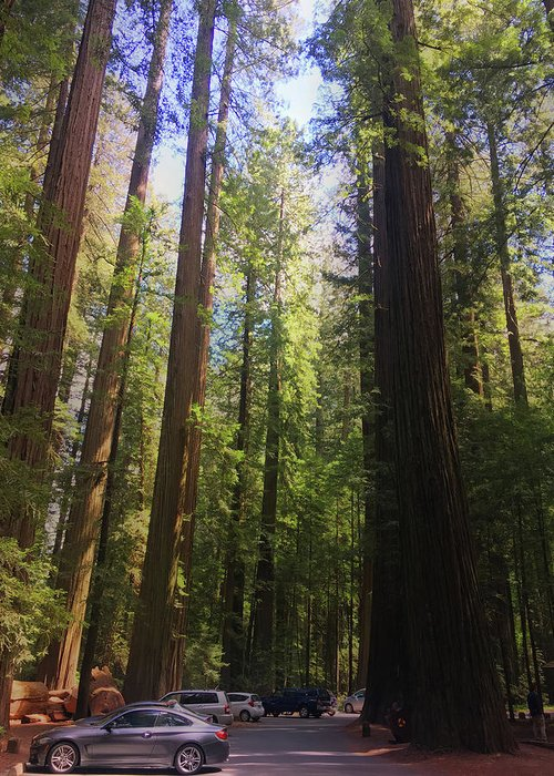 Redwood Greeting Card featuring the photograph Redwoods by Melissa Wester