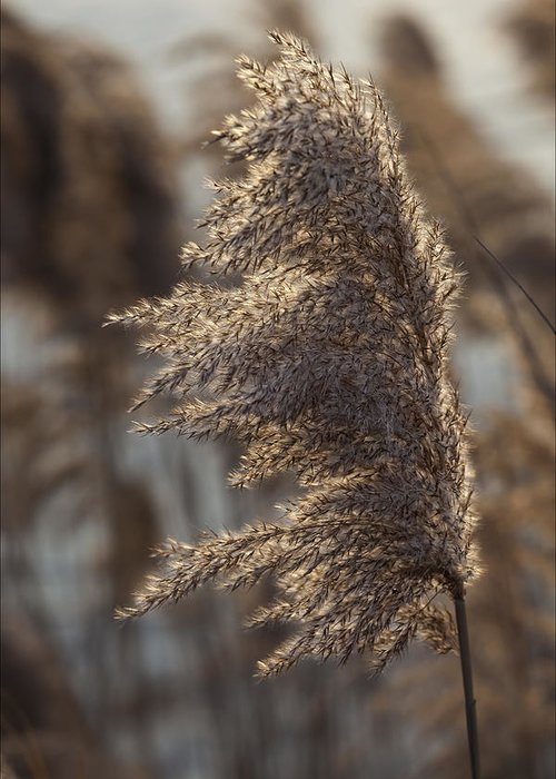 Reeds Greeting Card featuring the photograph Reeds by Robert Ullmann