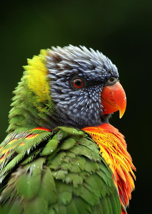 Rainbow Lorikeet Greeting Card featuring the photograph Reflecting In The Rain by Lesley Smitheringale
