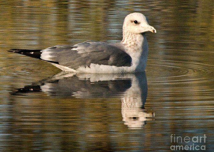 California Scenes Greeting Card featuring the photograph Young Gull Reflections by Norman Andrus