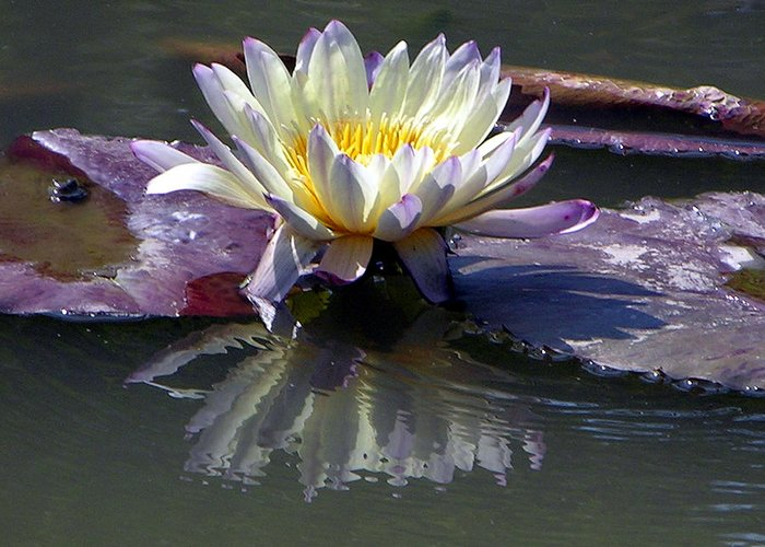 Water Lily Greeting Card featuring the photograph Reflections Of Beauty by John Lautermilch