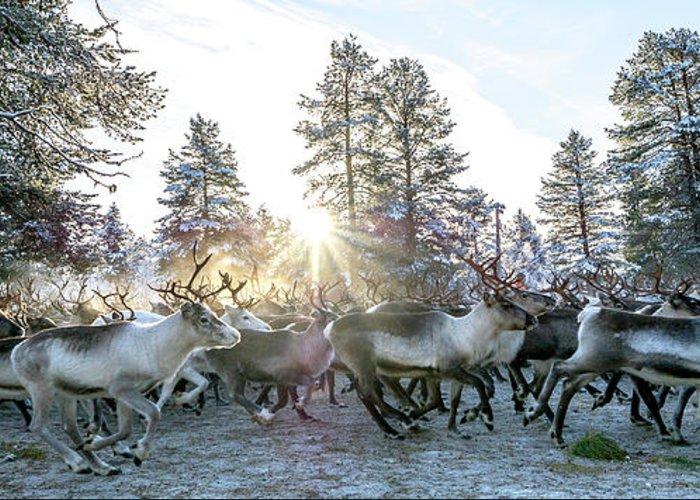 Reindeer Greeting Card featuring the photograph Reindeer On Autumn Sun by Markus Kiili