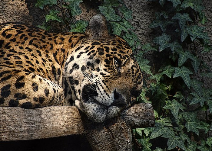 Big Cats Greeting Card featuring the photograph Relaxing by Ernie Echols
