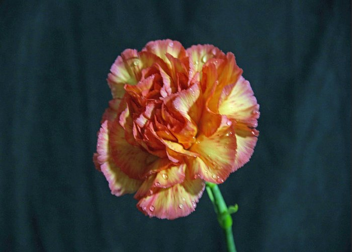 Carnation Greeting Card featuring the photograph Reminds Me Of A Peach by Gregory Letts