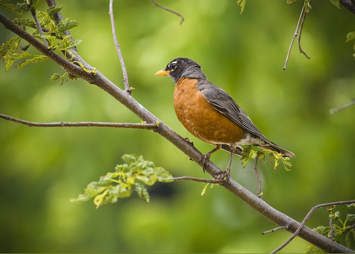 Bird Greeting Card featuring the photograph Resting American Robin by Chad Davis