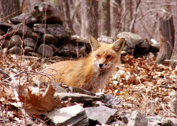 Red Fox Greeting Card featuring the photograph Resting Fox by Randy Ricketts