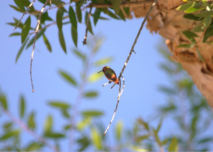 Hummingbird Greeting Card featuring the photograph Resting Hummingbird by Brad Scott