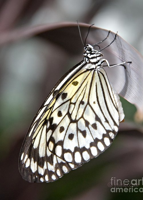Butterfly Greeting Card featuring the photograph Resting by Jacqueline Milner
