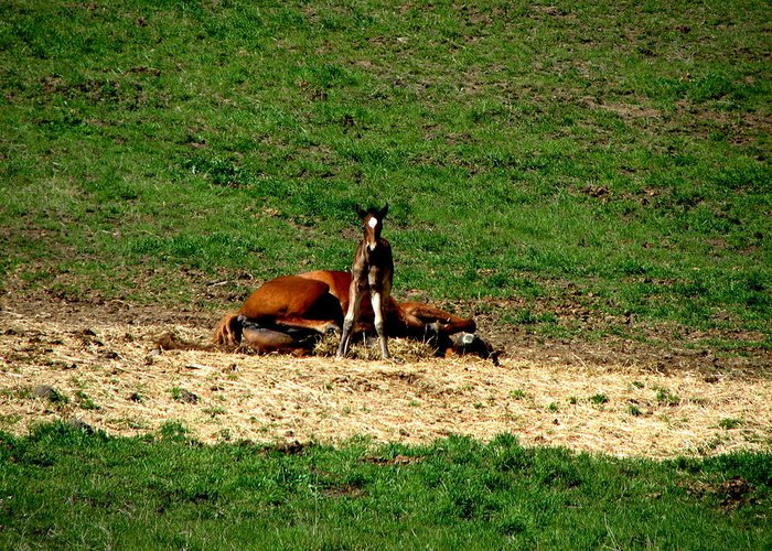 Horses Greeting Card featuring the photograph Resting Mom by Athena Ellis