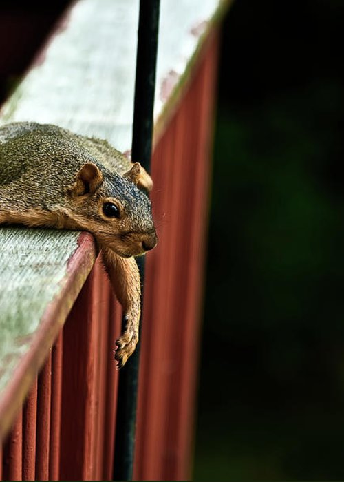 Eastern Fox Squirrel Greeting Card featuring the photograph Resting Squirrel by Onyonet Photo Studios