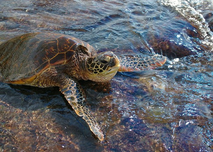 Beach Greeting Card featuring the photograph Resting Turtle by Sandra Shaw