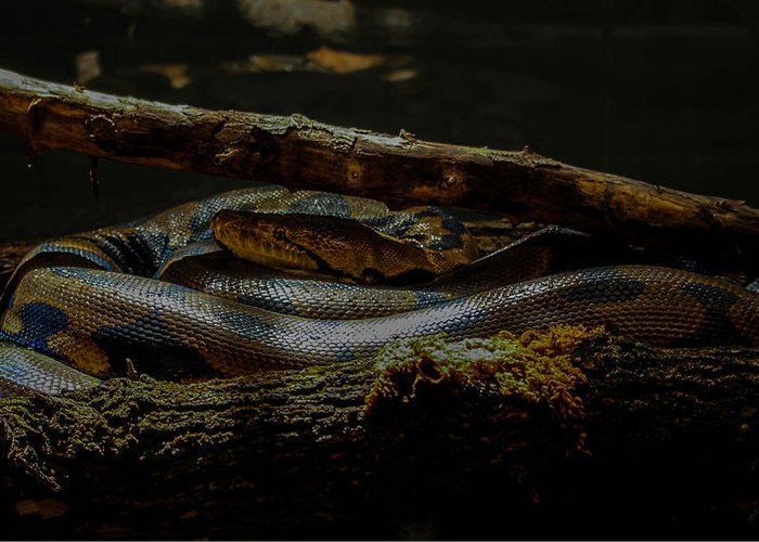 Reptile Greeting Card featuring the photograph Reticulated Python by Ajit Vikram