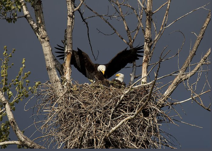 Eagle Greeting Card featuring the photograph Returning Home To The Nest by Mike Dawson