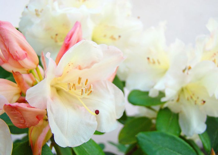 Rhodies Greeting Card featuring the photograph Rhodies Art Prints White Pink Rhododendrons Baslee Troutman by Baslee Troutman