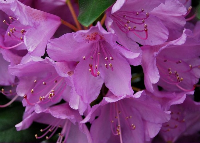 Rhododendren Greeting Card featuring the photograph Rhododendren II by Marilynne Bull