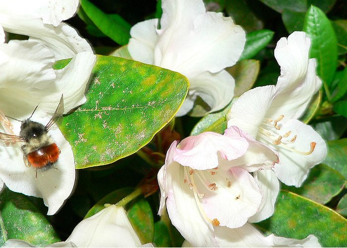 Bee Greeting Card featuring the photograph Rhododendron And Bee by Larry Keahey