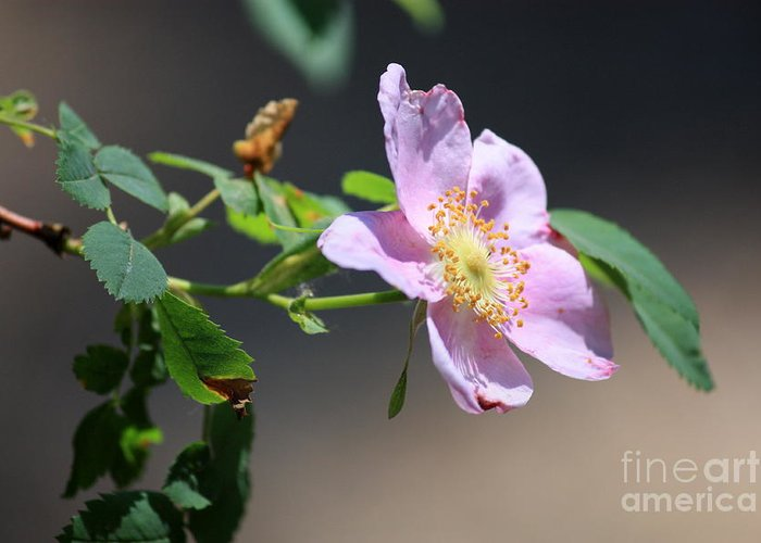 Floral Greeting Card featuring the photograph Rimrock Rose by Carol Groenen