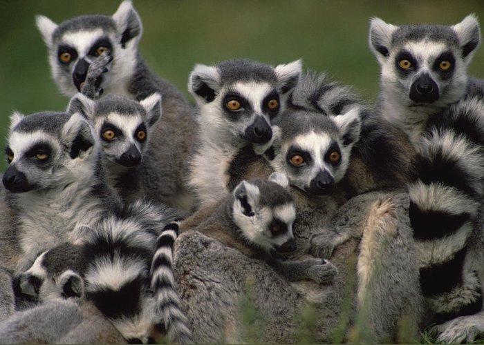 Lemur Sp Greeting Cards