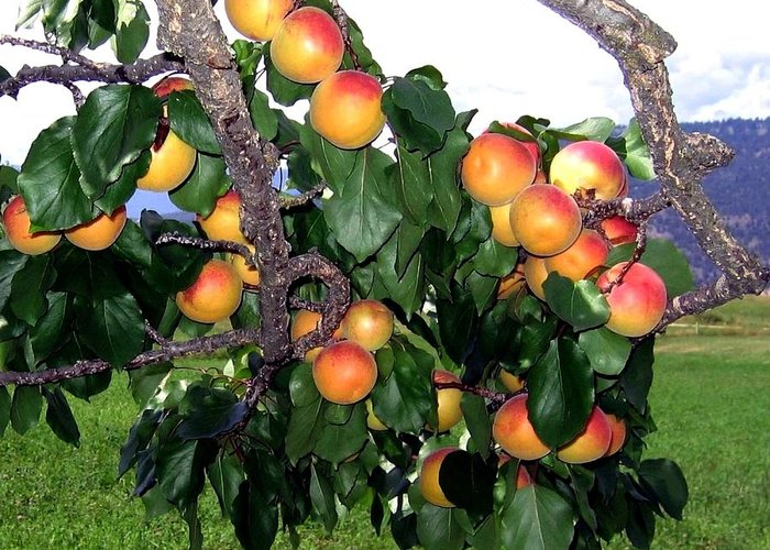 Apricots Greeting Card featuring the photograph Ripe Apricots by Will Borden