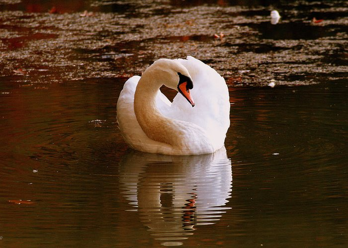 Swan Greeting Card featuring the photograph Rippled Reflection by Jason Blalock