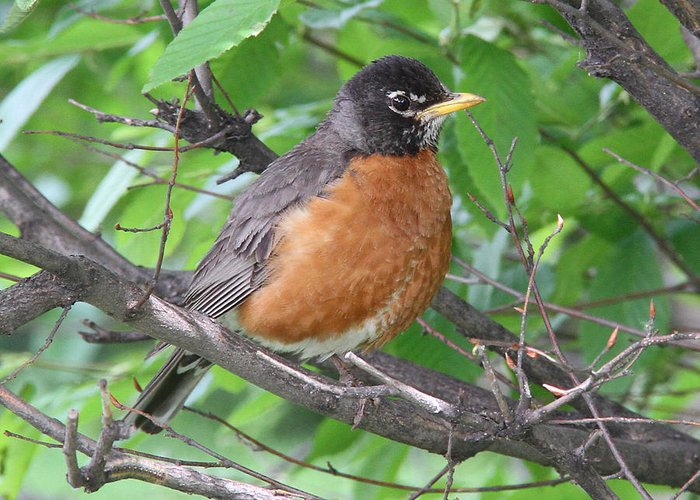 American Robin Greeting Card featuring the photograph Robin by Doris Potter