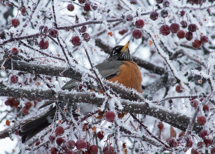 Branch Greeting Card featuring the photograph Robin Perched In Crabapple Tree by Travers Morgan