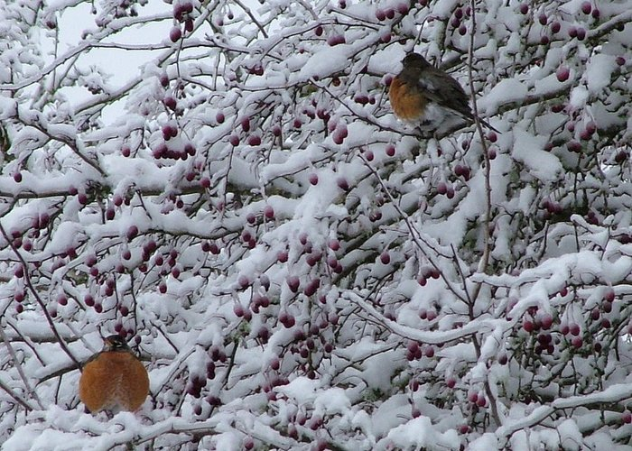 Robins Birds Nature Wildlife Snow Greeting Card featuring the photograph Robins In The Snow by Nick Gustafson