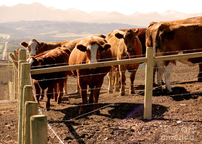 Al Bourassa Greeting Card featuring the photograph Rockies Cattle Country by Al Bourassa