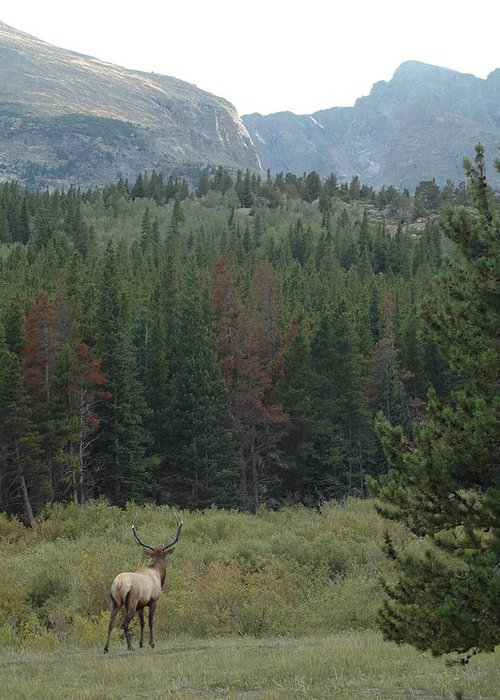 Elk Greeting Card featuring the photograph Rocky Mountain Elk by Kathy Schumann