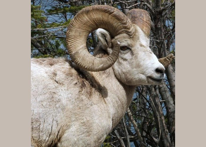Wildlife Greeting Card featuring the photograph Rocky Mountain Ram by Tiffany Vest