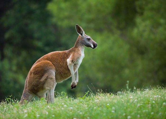Kangaroo Photographs Greeting Cards