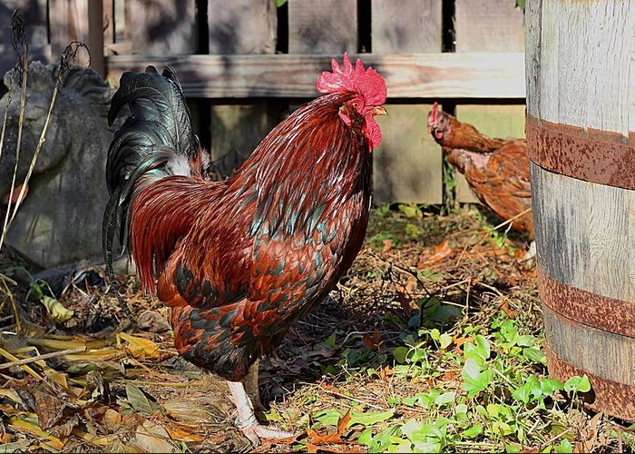 Rooster Greeting Card featuring the photograph Rooster And Friend by Linda Crockett