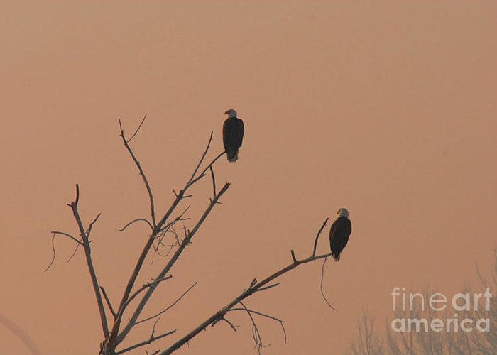 Eagle Greeting Card featuring the photograph Roosting Bald Eagles by Dennis Hammer